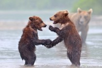 bears shaking hands
