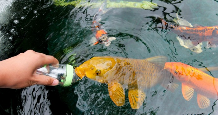 These animals are pretty cool 20 pictures for Koi feeding