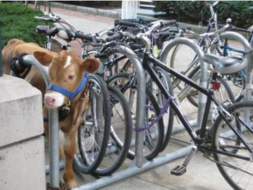 cow locked up
