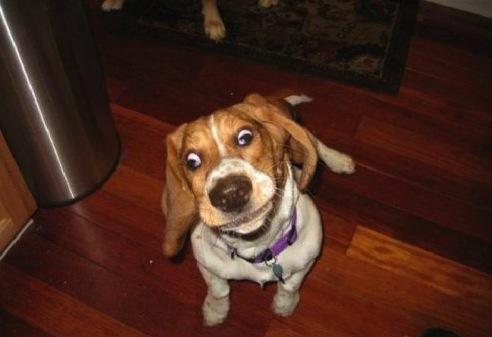 crazy eyed dog