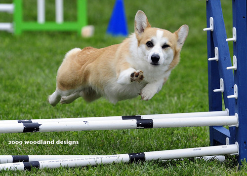dog jumping fence