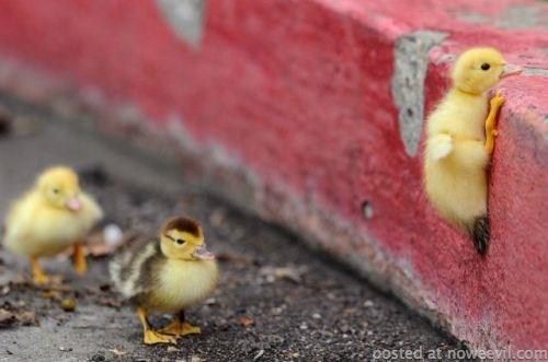 duck climbing curb