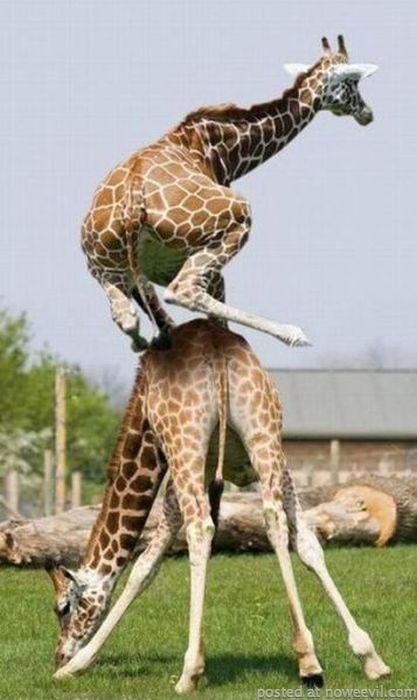 leapfrog giraffe