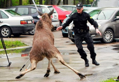 moose and cop
