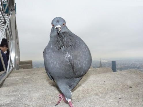 struting pigeon