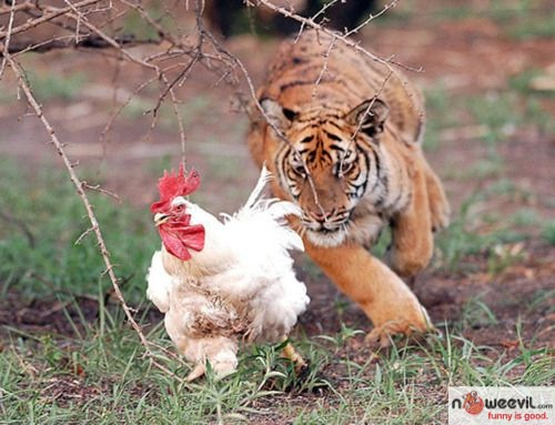 tiger and chicken