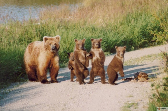 bears on road