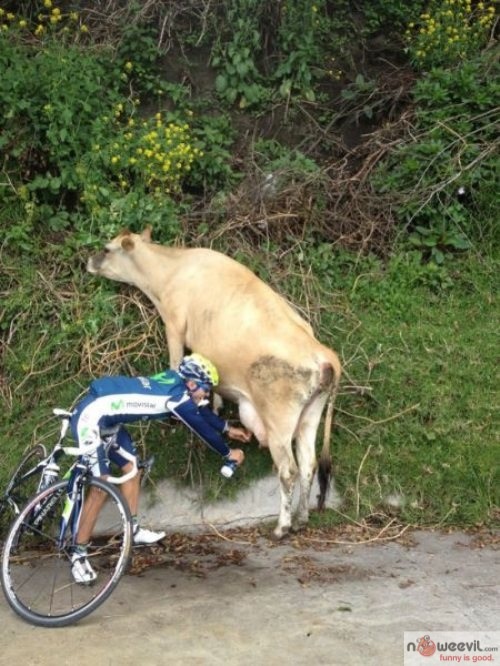biker and cow