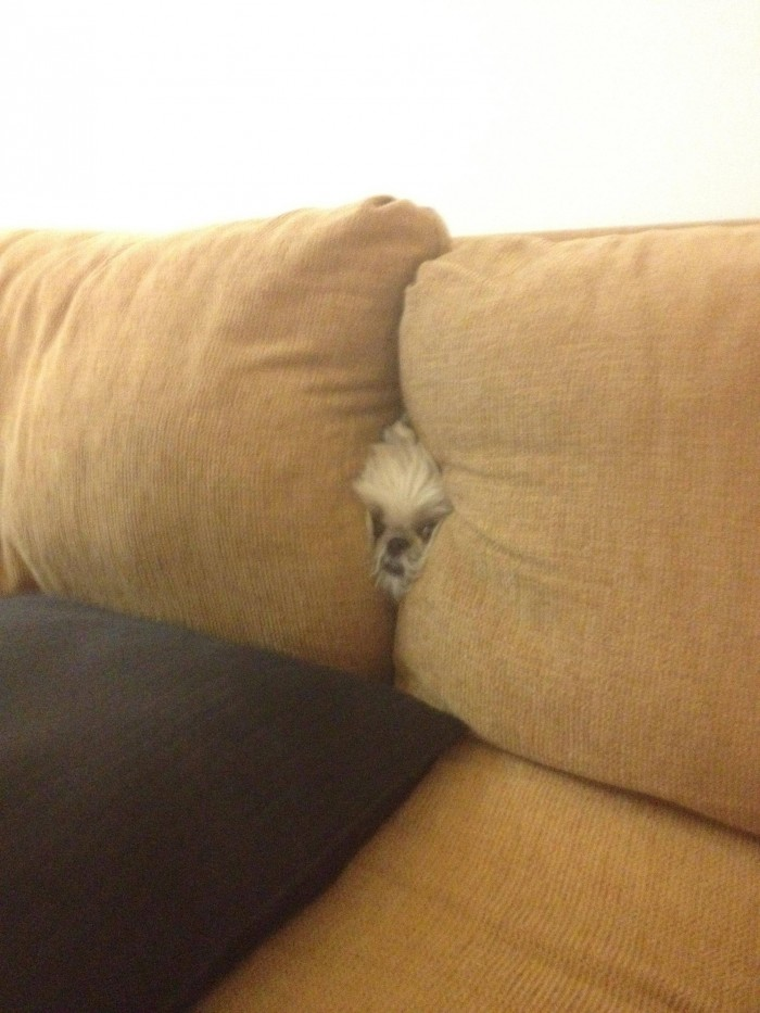 dog in couch