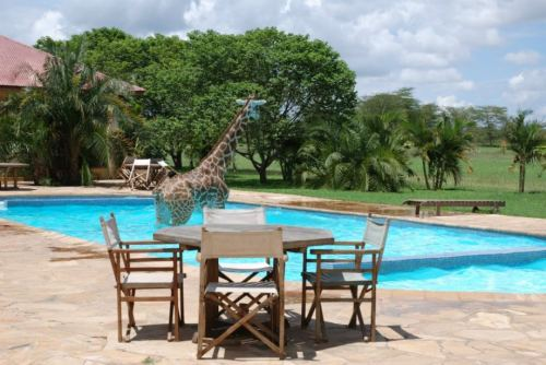 giraffe in pool