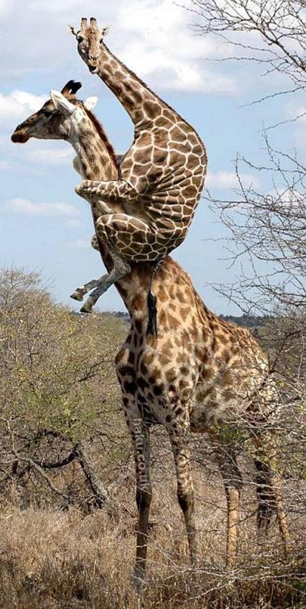 giraffe spyder