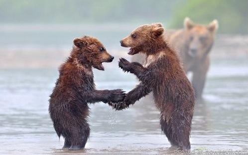 bears shaking hands