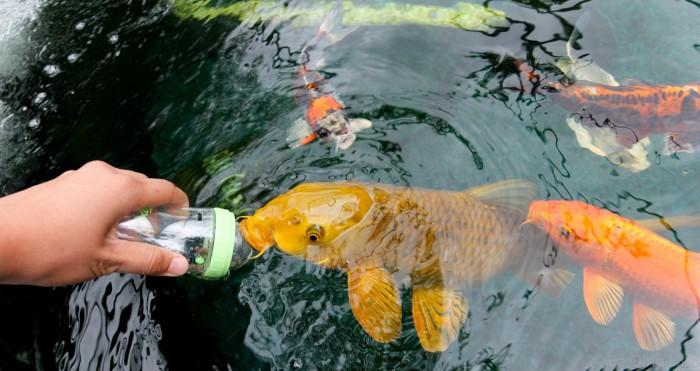 bottle feeding koi fish