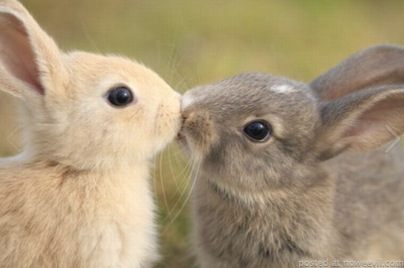 bunnies kissing