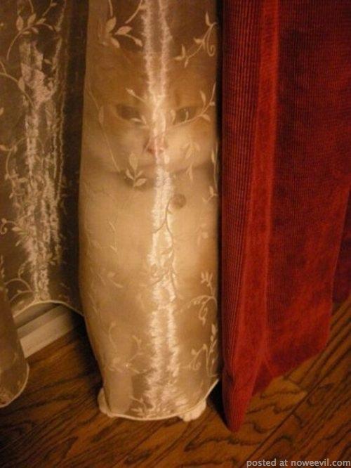 cat in drapes