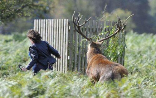 deer chasing lady