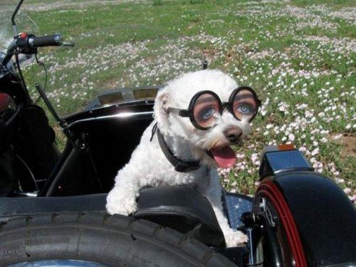 dog and glasses