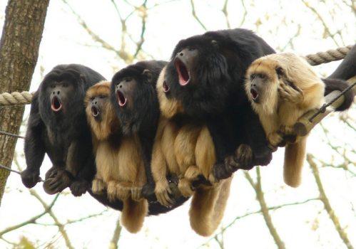 gorillas singing