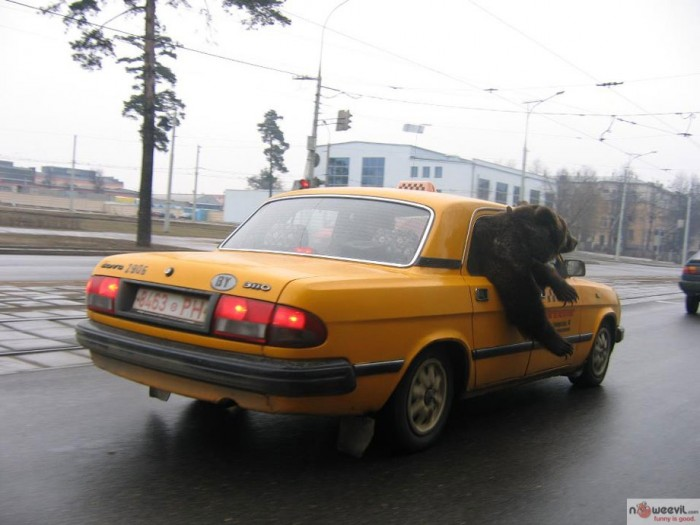 bear in cab