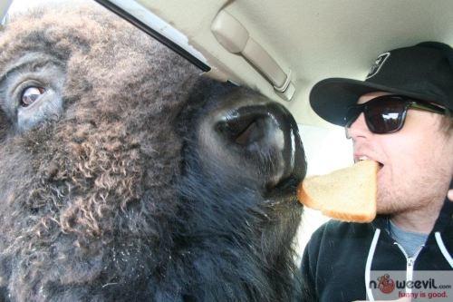 buffalo and sandwich