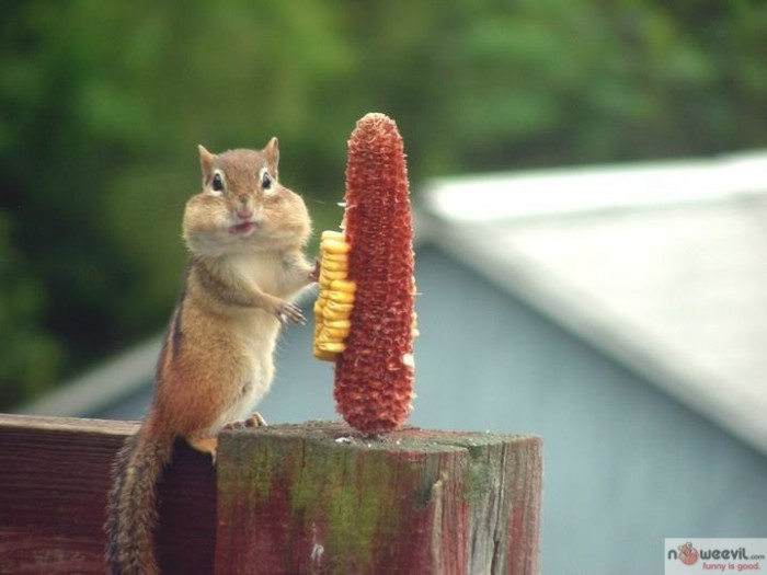 chipmunk and corn