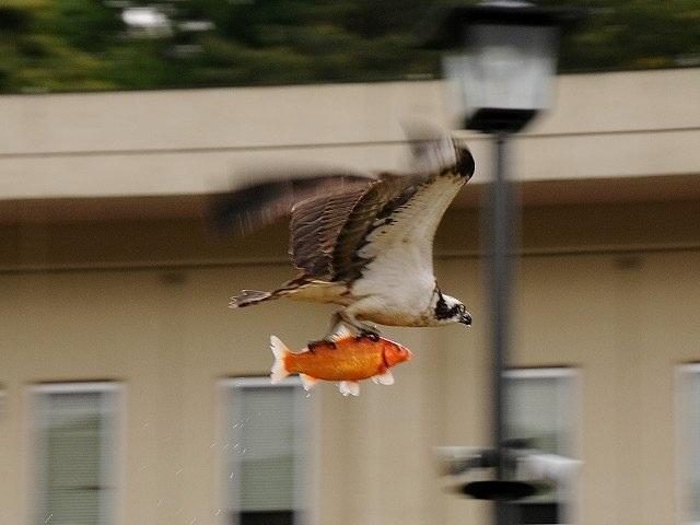 fish and eagle