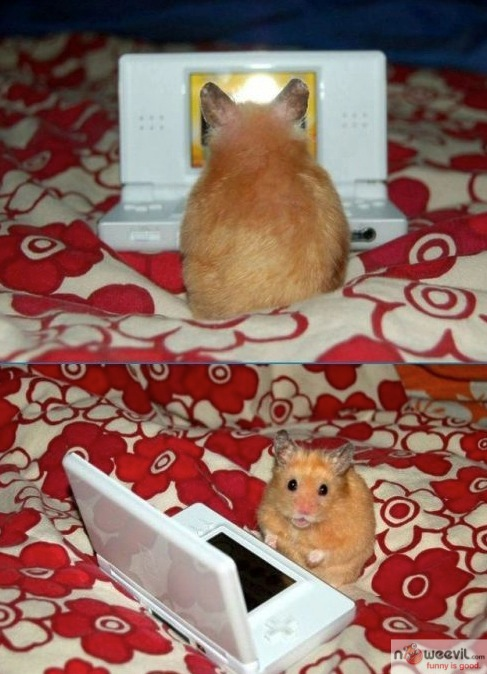 hamster ds