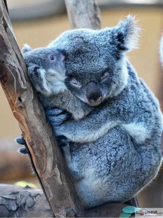 hugging koala