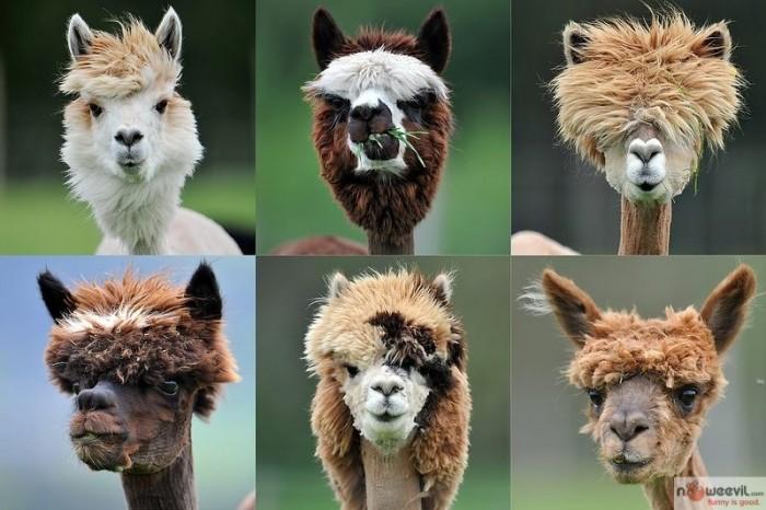 lama haircuts