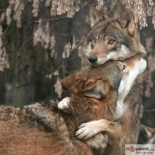 wolves hugging