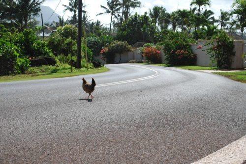 chicken