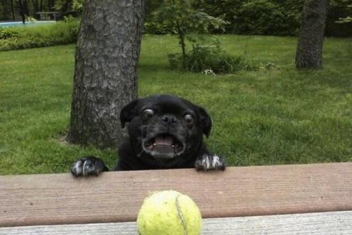 dog and tennis ball
