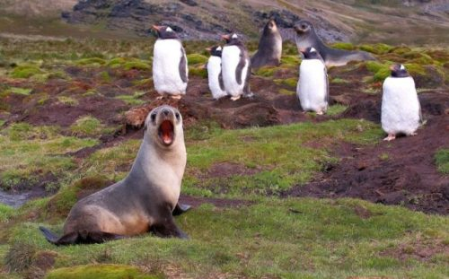 seal yelling