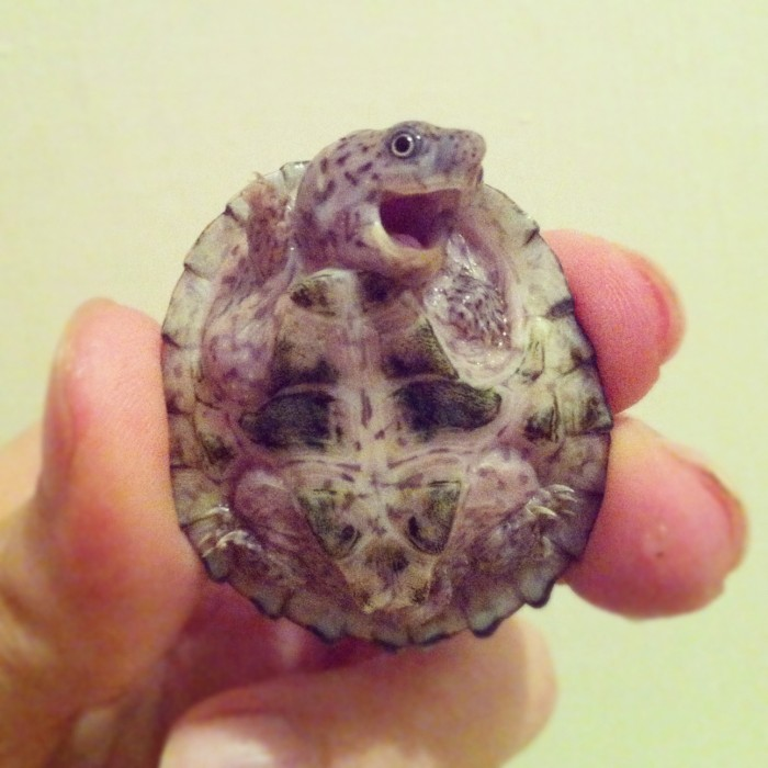 turtle saying hey