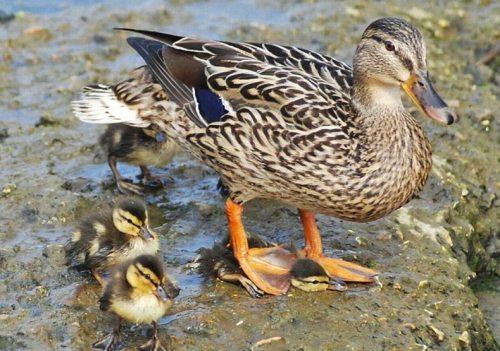 duck step