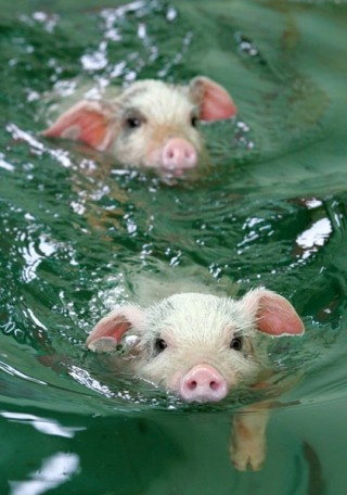 wimming pigs